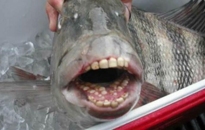 """Capturan pez con """"dientes humanos"""""""