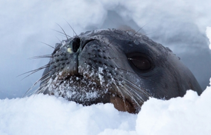 La NASA usará focas para explorar los océanos