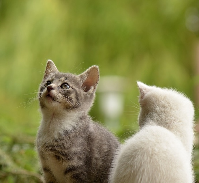 Nace Garlic; primer gato clonado