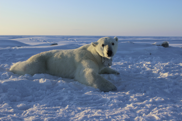 Osos polares se acercan a aldea en busca de alimento en Rusia