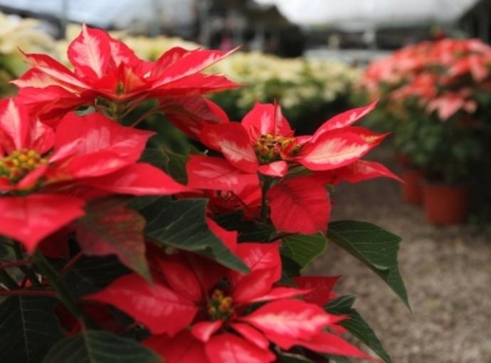 Produce México 19 millones de plantas de nochebuena