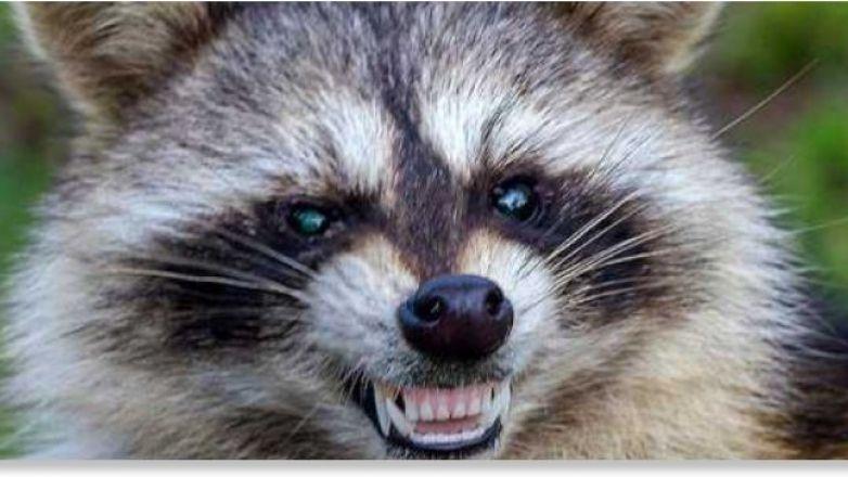 """¡Cuidado con los """"mapaches zombis""""!, alertan en EU"""