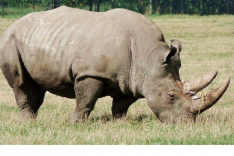 Buscan salvar de la extinción a rinoceronte