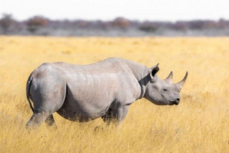 Crean embriones de rinoceronte al borde de extinción