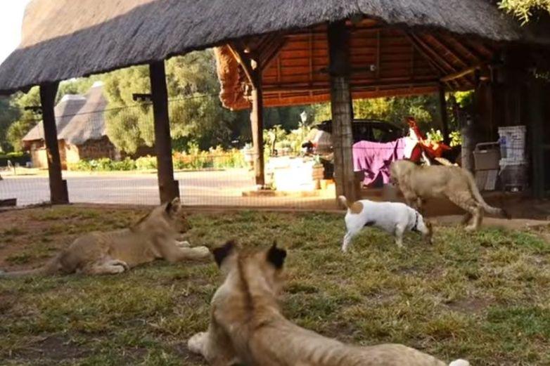 El perro más valiente del mundo se 'codea' entre leones