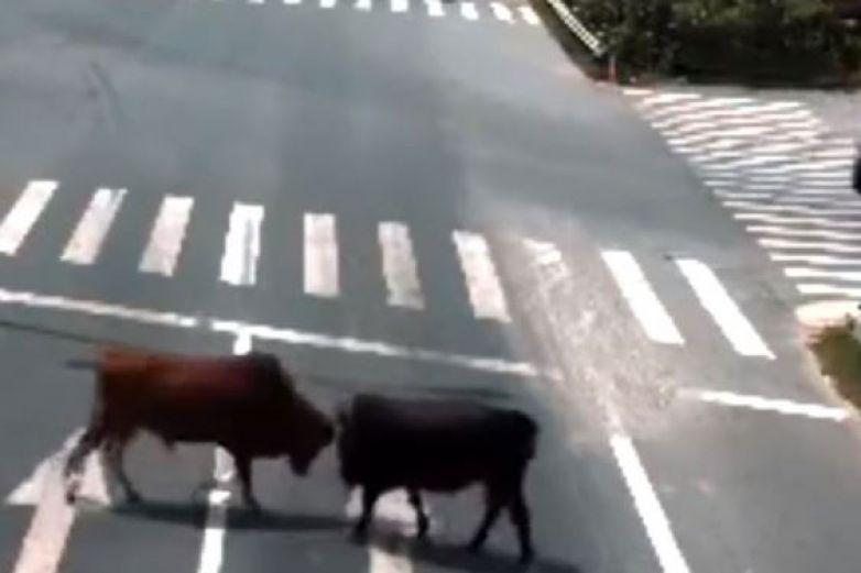 Pelea de toros en medio de autopista paraliza tránsito en China