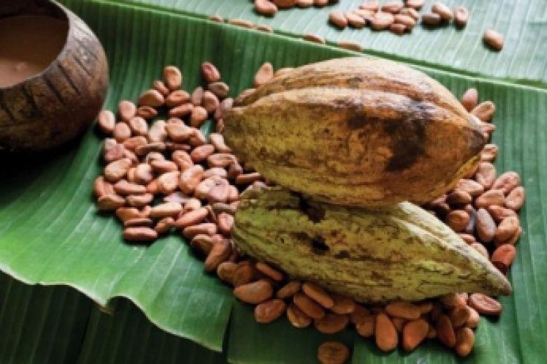 Alertan peligro de extinción de cacao endémico en Chiapas y Tabasco