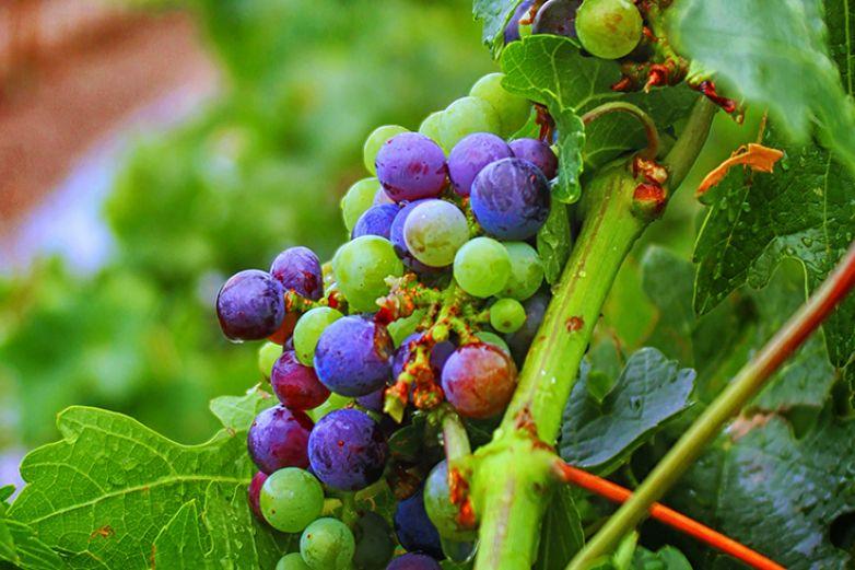 Chihuahua tierra de vino