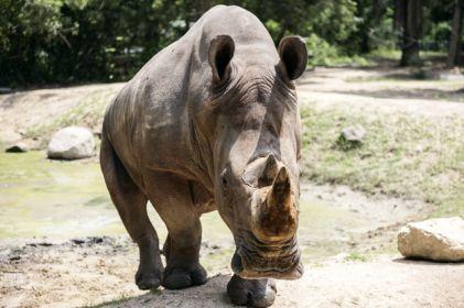 En 'peligro crítico' tres especies de rinoceronte