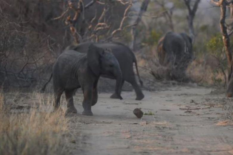 Bebé elefante se vuelve viral por jugar fútbol