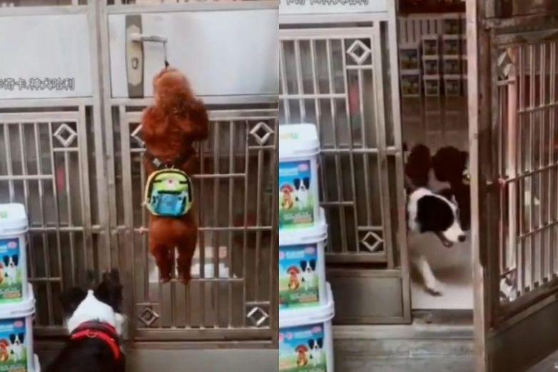 Video del perrito que abre la puerta a sus amigos para 'ir a la escuela'