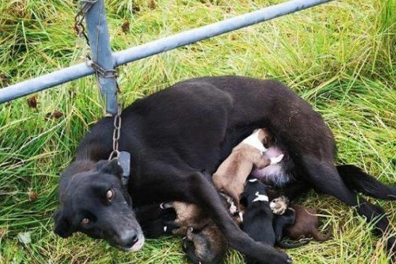 Cruel familia encadena y abandona a una perra con sus cachorritos