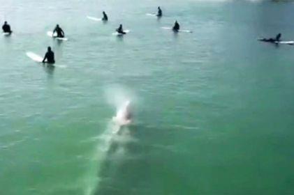 Ballena gigante es captada nadando bajo surfistas en California