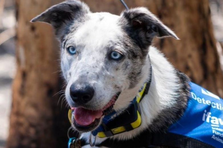 'Oso', el perro que ayuda a encontrar koalas en los incendios de Australia