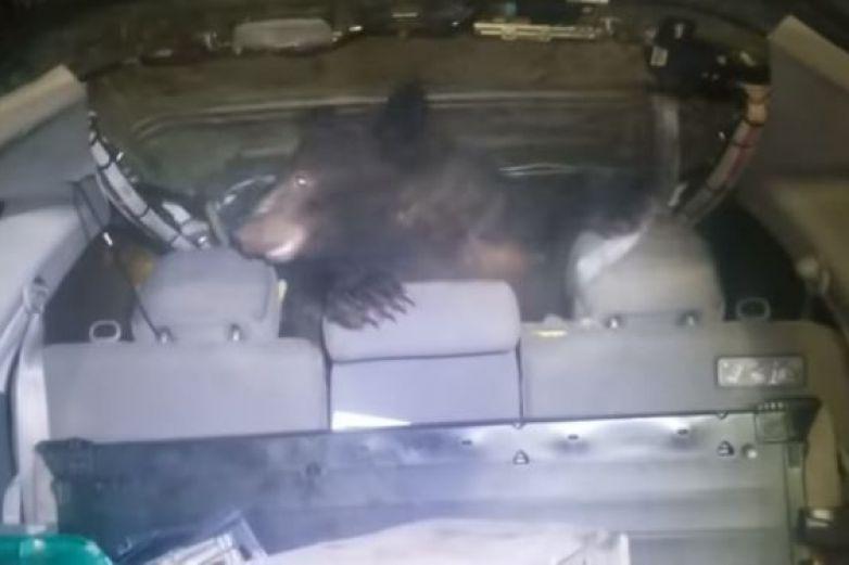 Hombre encuentra un oso en la parte trasera de su auto en Canadá