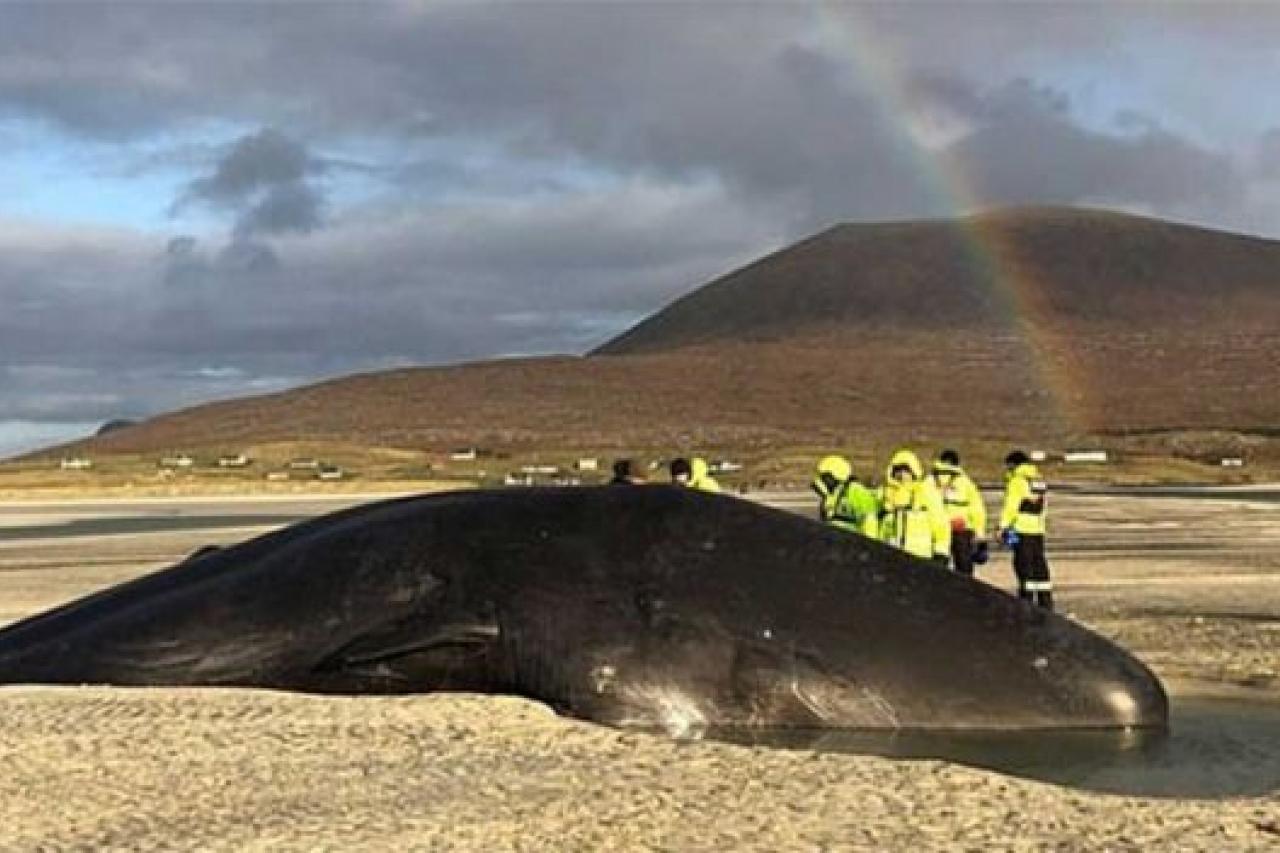 Muere ballena con 100 kilos de basura en el estómago