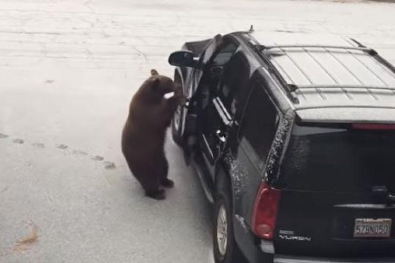 Oso abre la puerta y entra en un coche para resguardarse del frío