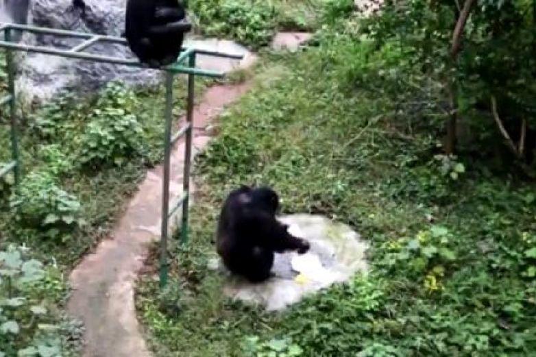 Chimpancé lava la ropa de su cuidador en zoológico de China