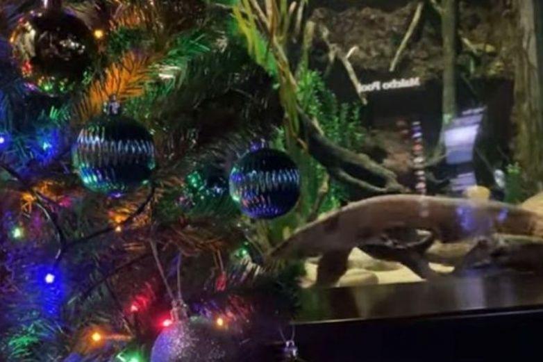 Anguila eléctrica enciende luces de árbol de navidad