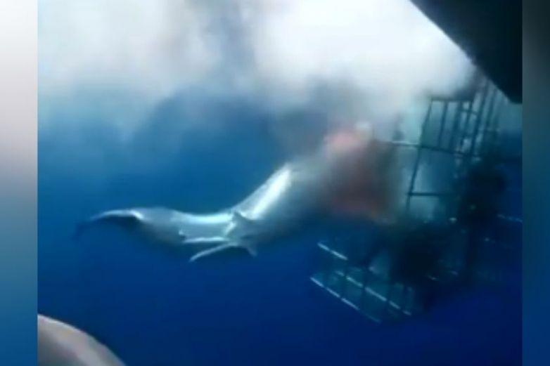 Tiburón muere trágicamente al quedar atrapado en jaula metálica