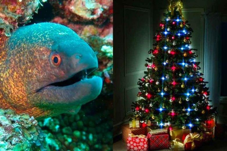 Usan energía de anguila eléctrica para alumbrar árbol de navidad