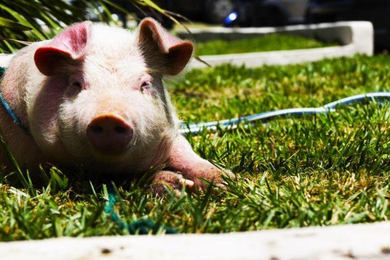 Lanzan en Feria a un cerdo por el bungee