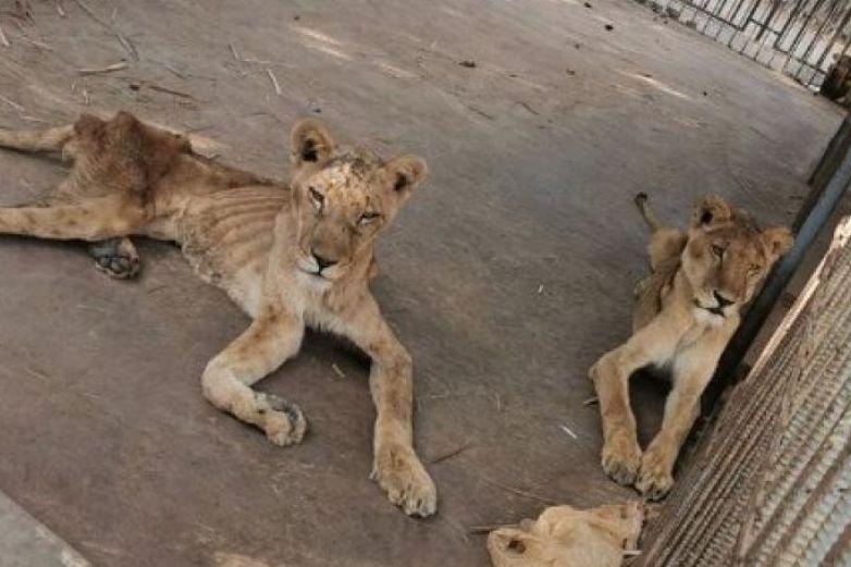 León desnutrido y enfermo muere en zoológico