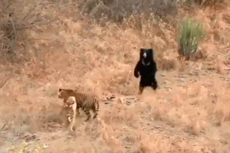 Oso negro y un tigre protagonizan una encarnizada pelea