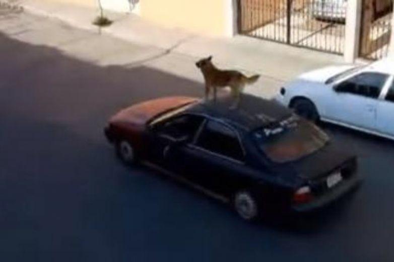 Captan a un perro paseando a toda velocidad sobre un vehículo