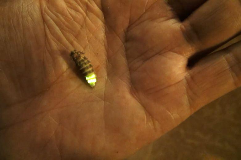 Luciérnagas también se enfrentan a una posible extinción
