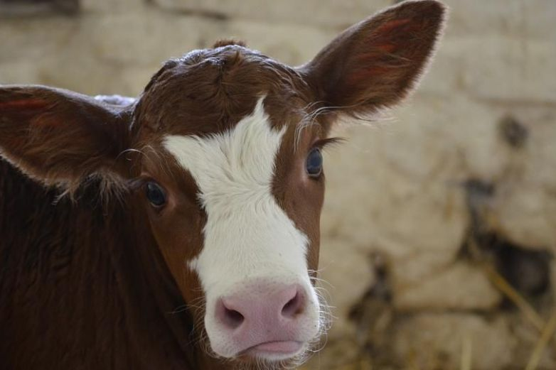 Vaca nace con una mancha en forma de corazón en San Valentín y se hace viral