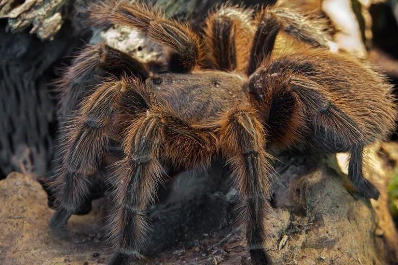 ¡Increíble! captan araña gigante devorando a una zarigüeya