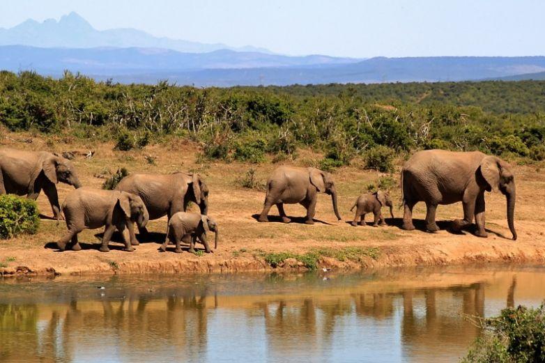 Regresan a 78 elefantes a su hábitat