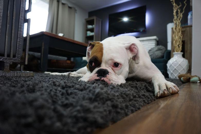 Evita intoxicar a tu mascota por limpieza excesiva durante contingencia