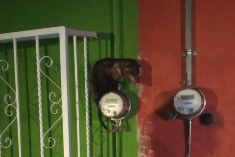 Rescatan a tlacuache atrapado en medidor de luz