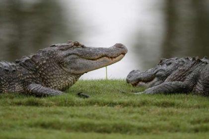 Captan brutal pelea de cocodrilos en un club de golf