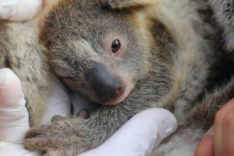 Nace el primer koala en Australia tras incendios que mataron a miles