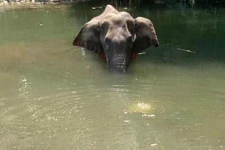 Elefanta embarazada muere tras comer petardo que explotó en su boca