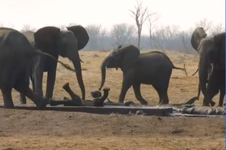 Elefantes salvan a su cría tras ser acechada por león