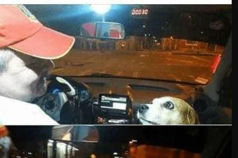 Tierna perrita 'trabaja' como taxista con su dueño