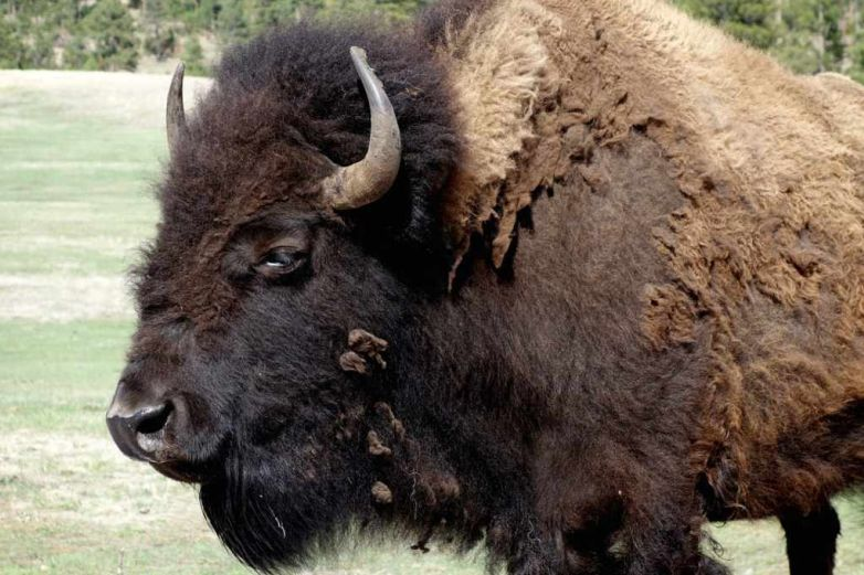 Antes de morir, búfalo le atraviesa una pierna a su cazador