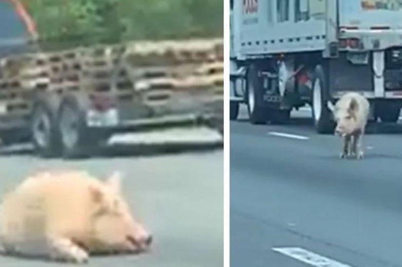Cerdos escapan y provocan caos vial en carretera