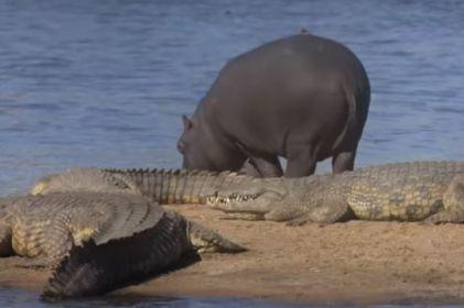 Hipopótamos 'ayudan' a pájaros a pasar frente a cocodrilos sin ser vistos
