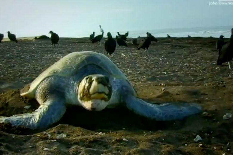 ¡Qué maravilla! Miles de tortugas golfinas anidan en Costa Rica