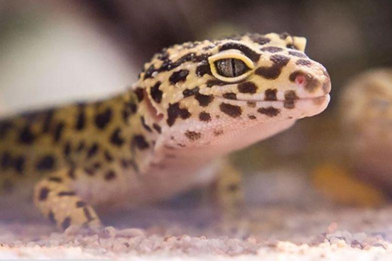 Encuentra extraño reptil; tiene extremidades similares a un humano