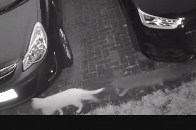 Cámara graba a 'gato fantasma' jugando con otro 'michi'