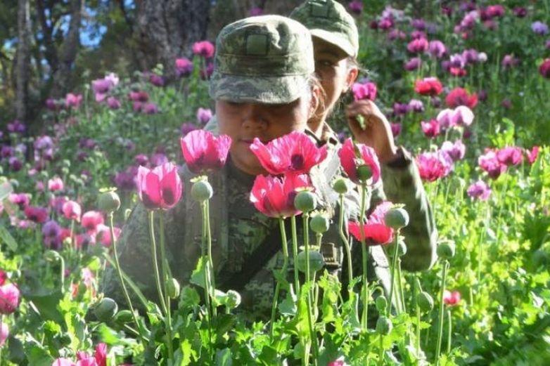 Disminuye producción de heroína y amapola en México