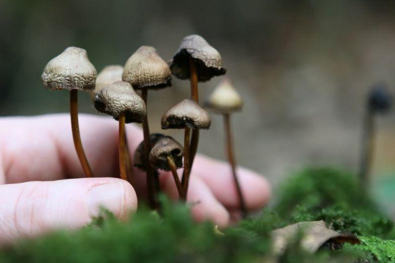 Sustancia activa de hongos alucinógenos ayudaría a luchar contra la depresión