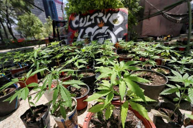 Corte confirma prórroga a Congreso para legislar sobre uso lúdico de marihuana