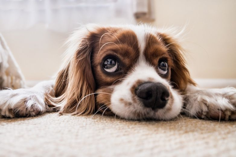 Evita que tu mascota tenga 'gusano de corazón'